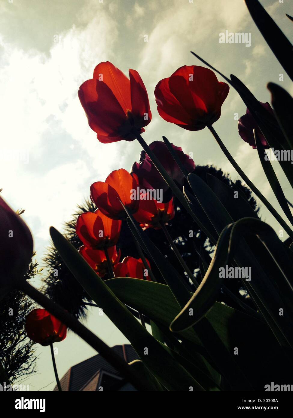 Red tulips in spring weather uk - Stock Image