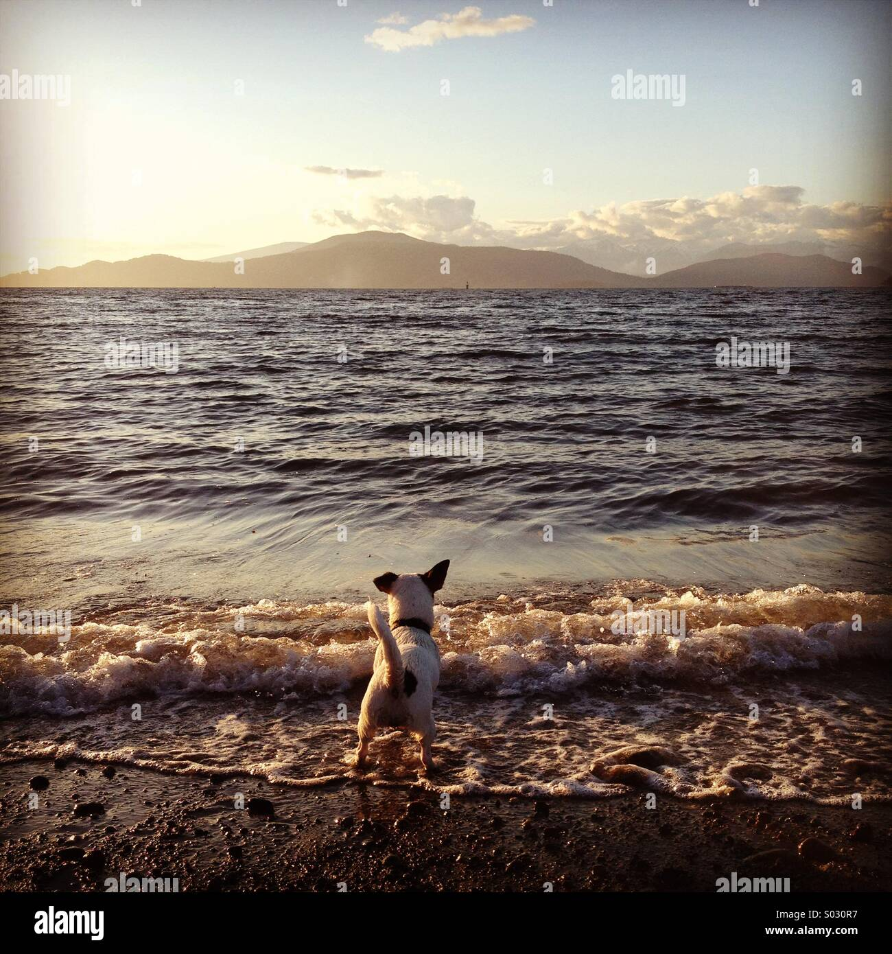 Puppy dog's first steps into the ocean at sunset. - Stock Image