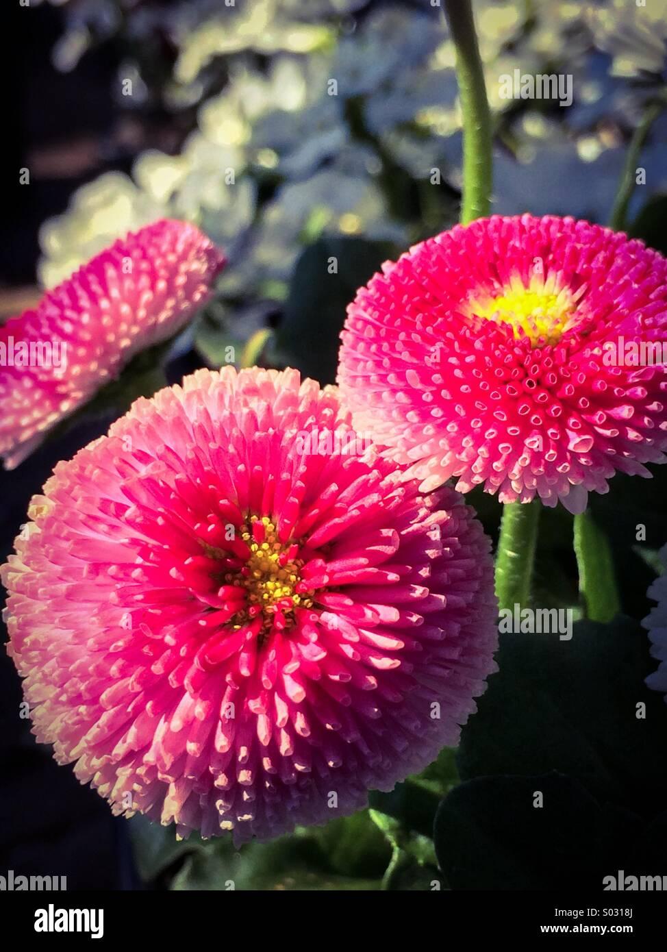 Magenta mums in a botanical garden Stock Photo