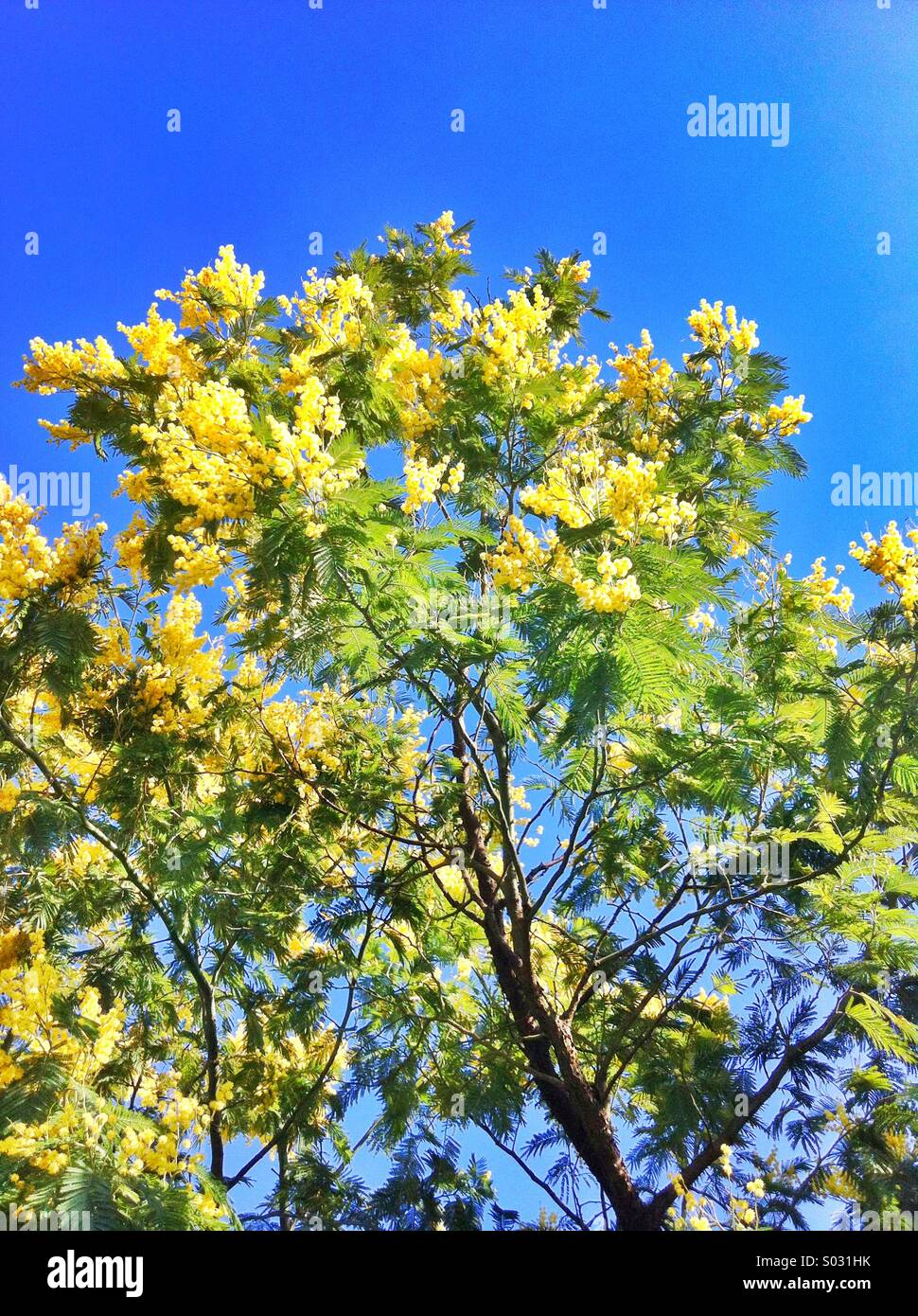 Yellow mimosa flowers with green leaves tree - Stock Image