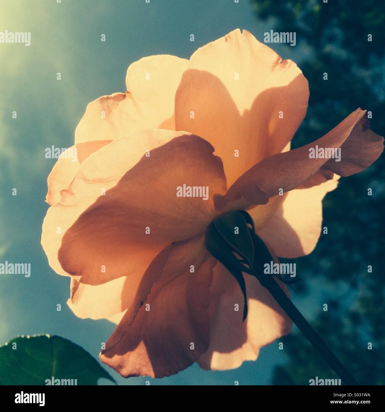 A single rose - Stock Image