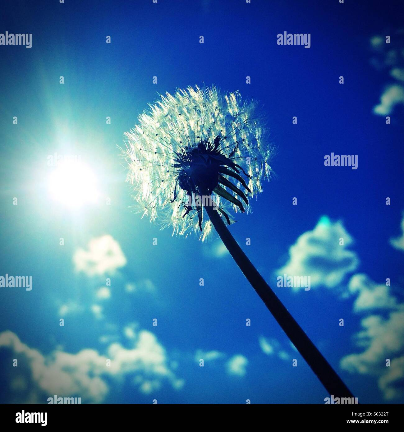 Dandelion seed head against the sun and blue sky, UK - Stock Image