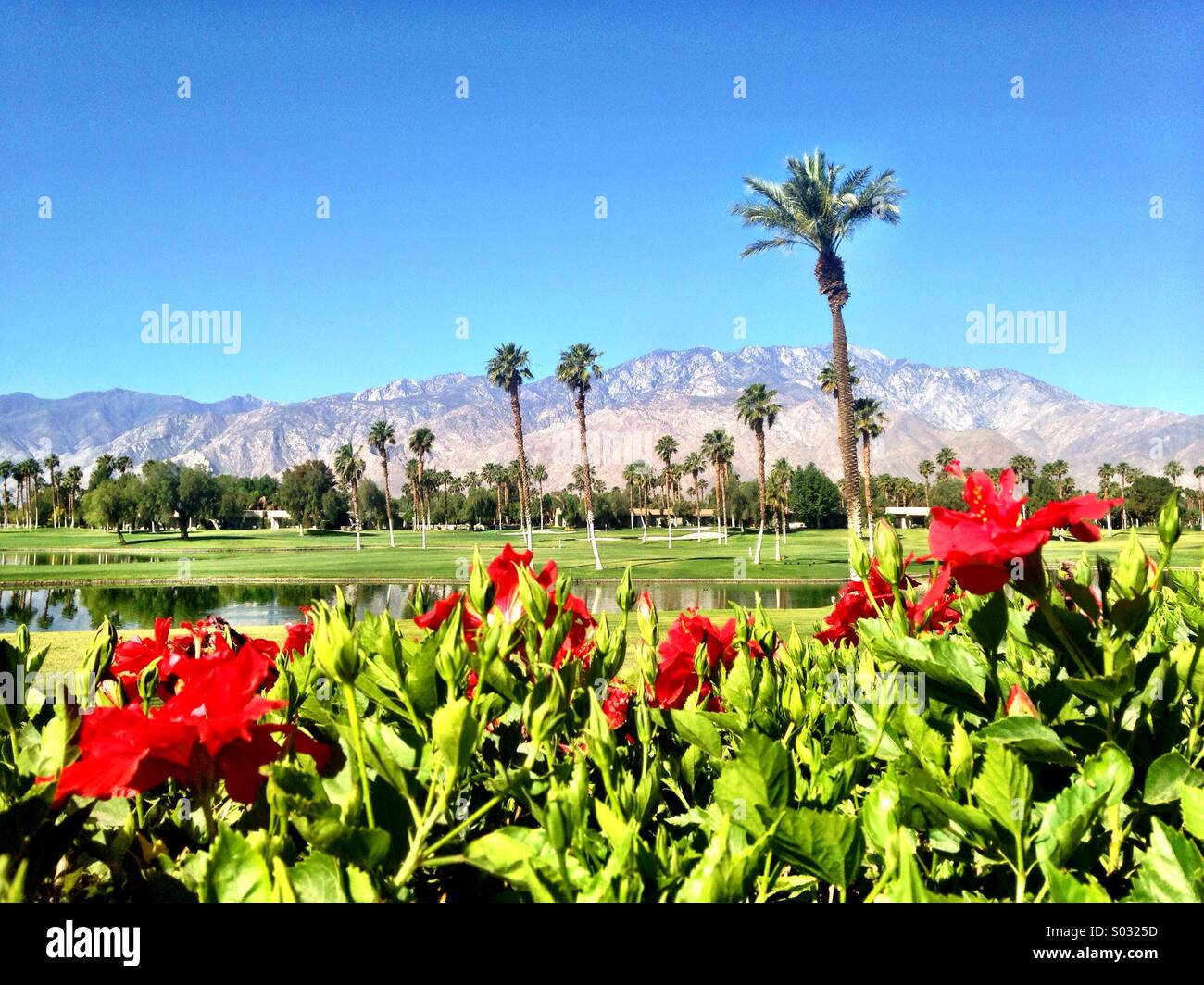 Hibiscus Flowers In Palm Springs Ca Stock Photo 309854201 Alamy