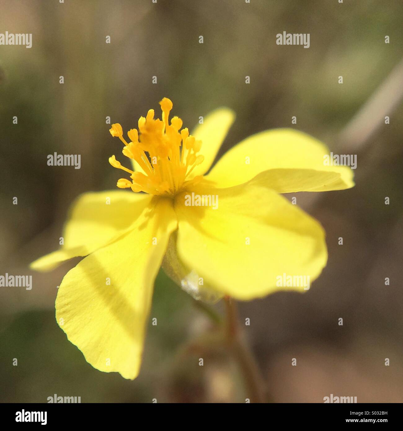 Yellow Spring Flower Five Petals Stock Photos Yellow Spring Flower