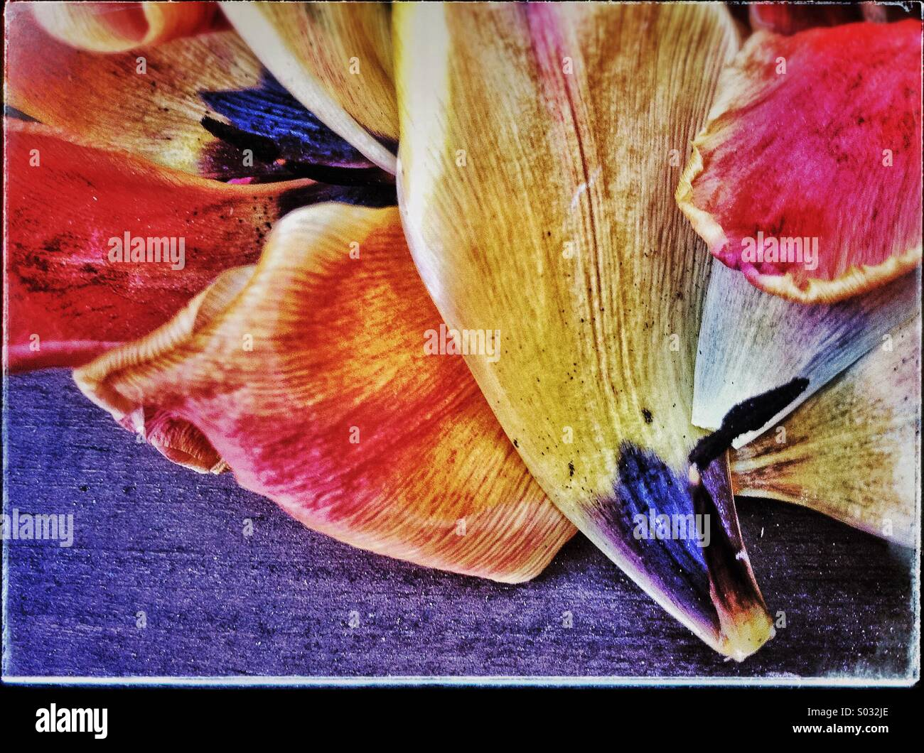 Colourful tulip petals on the floor - Stock Image