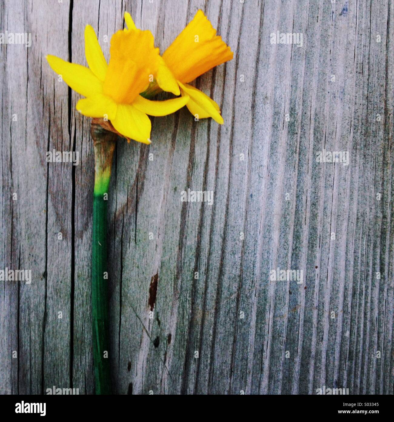 A close up of a double headed daffodil laying on a wooden background - Stock Image