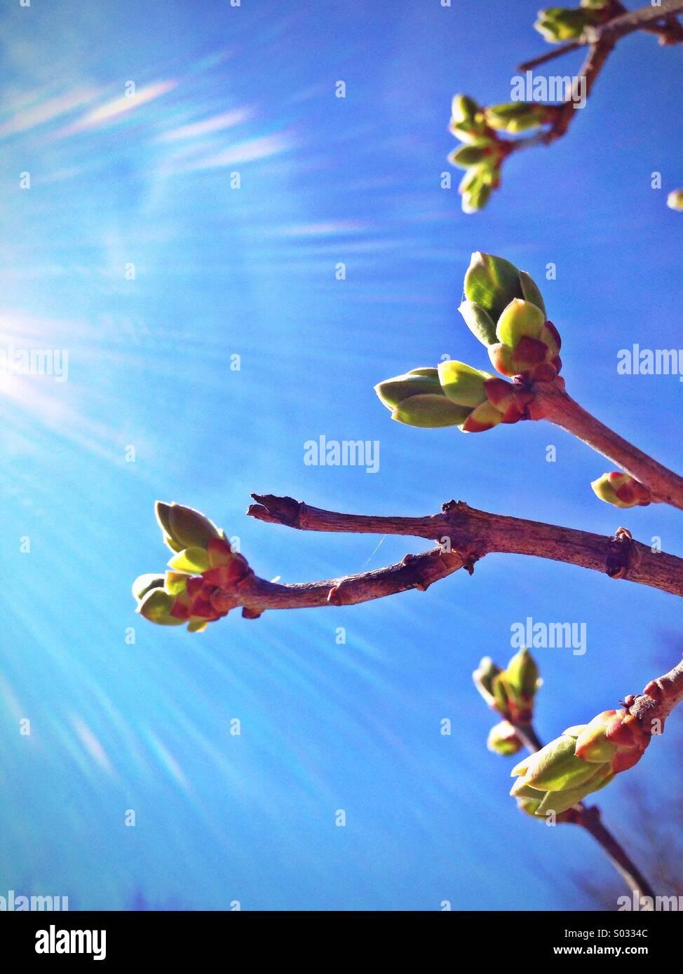 Tree buds. - Stock Image