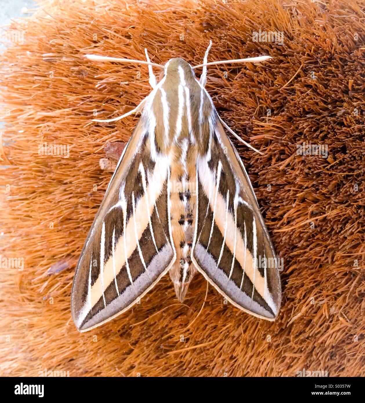 Sphinx moth - Stock Image