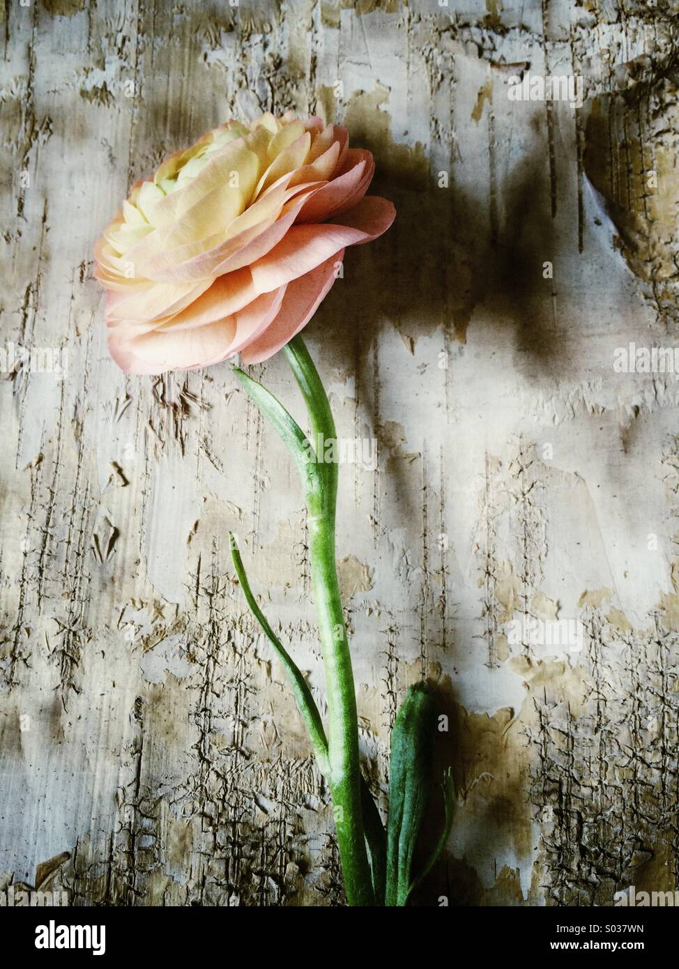 Ranunculus on tree bark - Stock Image