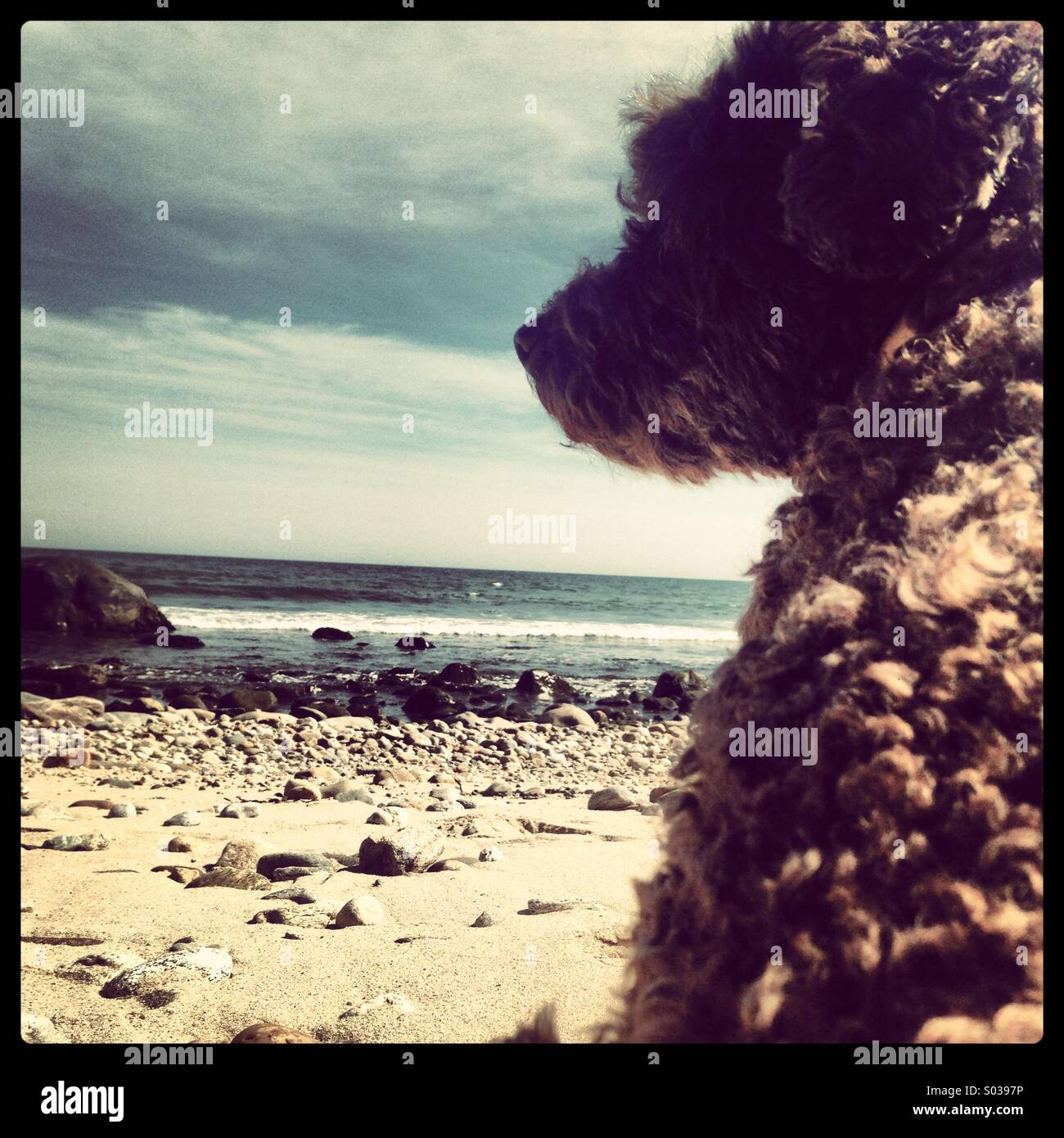 Poodle on beach - Stock Image