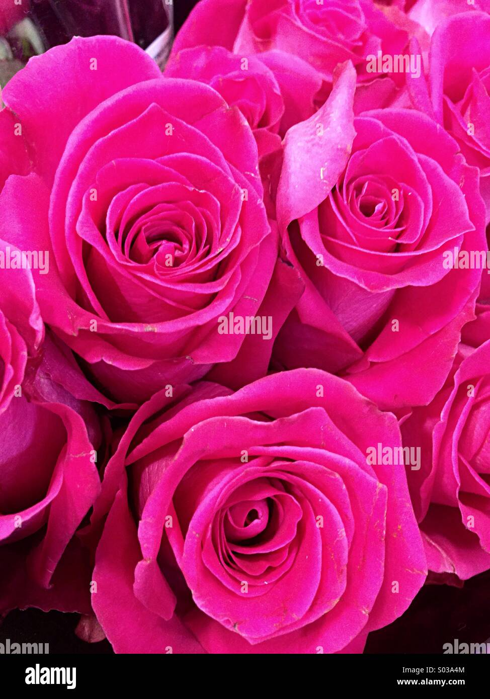 Bunch Of Pink Roses Stock Photos Bunch Of Pink Roses Stock Images