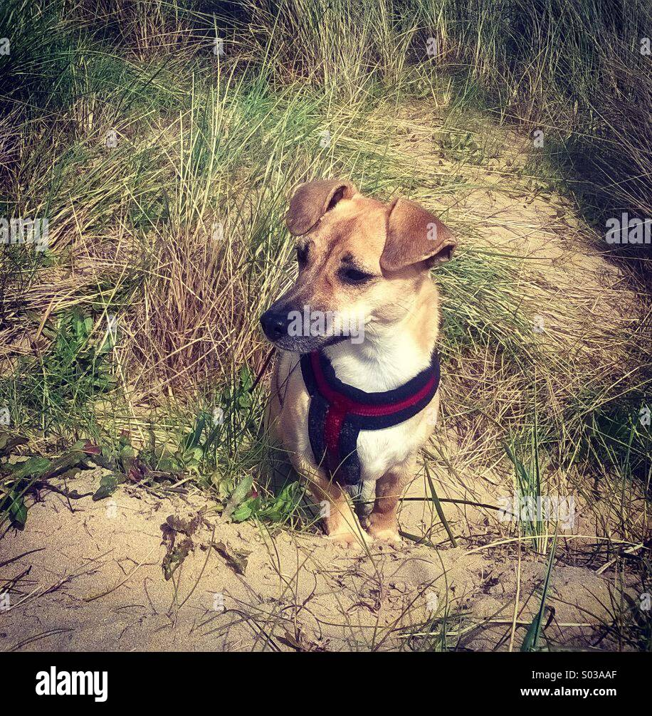 Dog (JRT) on Camber beach sand dunes, Easter 2014 - the whole beach is dog friendly from the end of Sept - end of Stock Photo