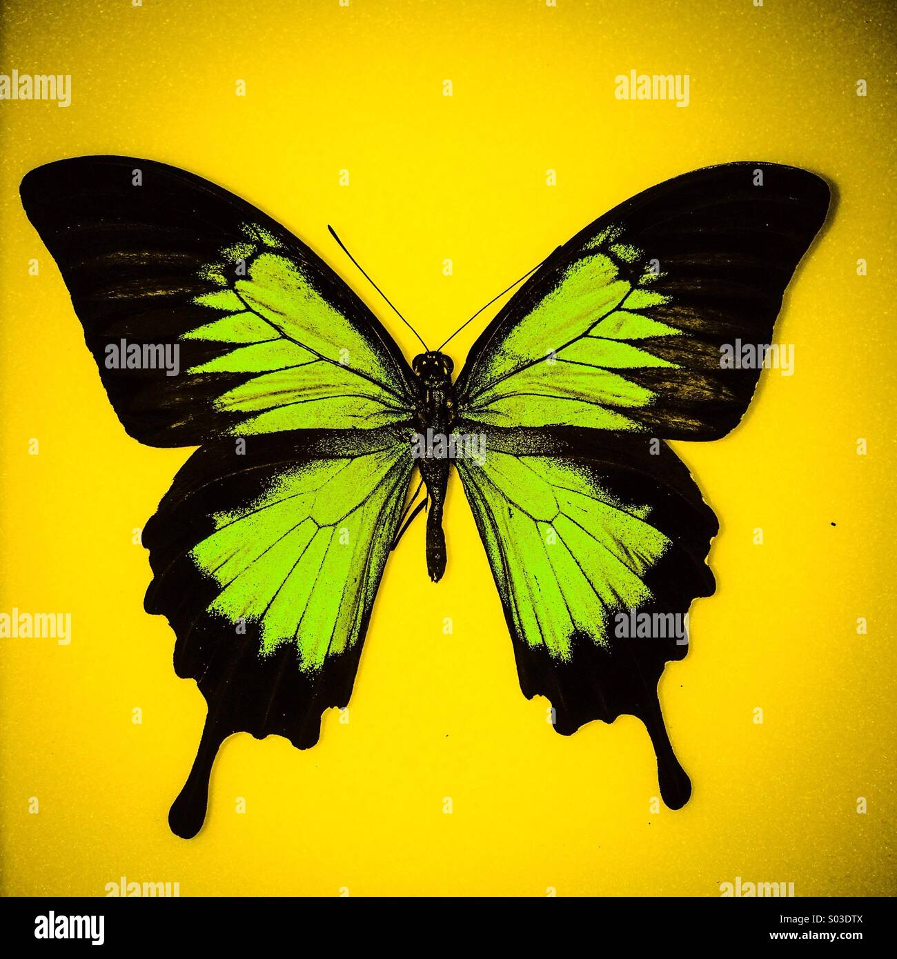 Butterfly Ulysses - Stock Image