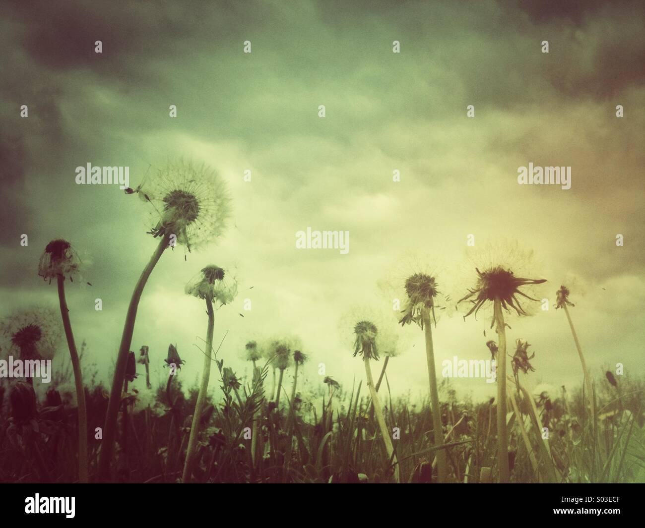 Dandelions with grunge effect filter. - Stock Image