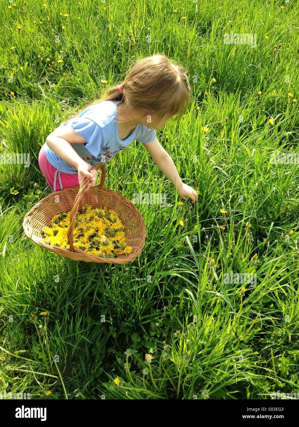 Little girl picking up dandelion flowers to the basket - Stock Image