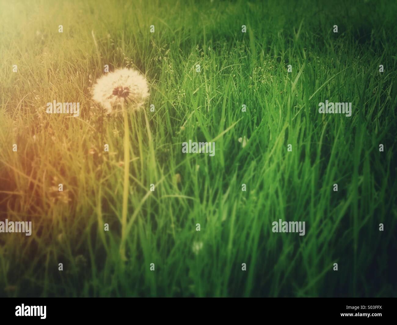 Dandelion with retro effect - Stock Image