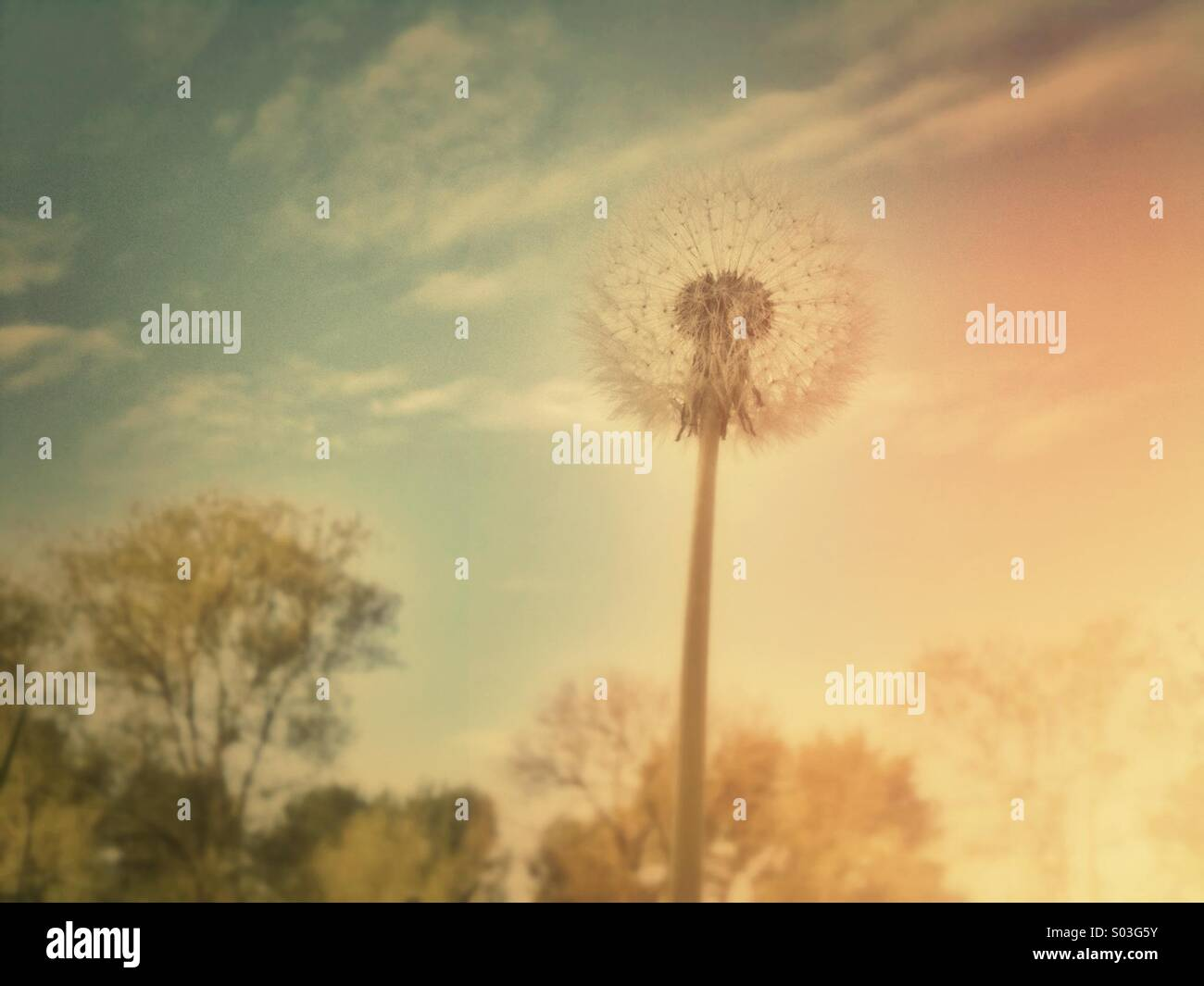 Dandelion seed head with retro-effect filter applied Stock Photo