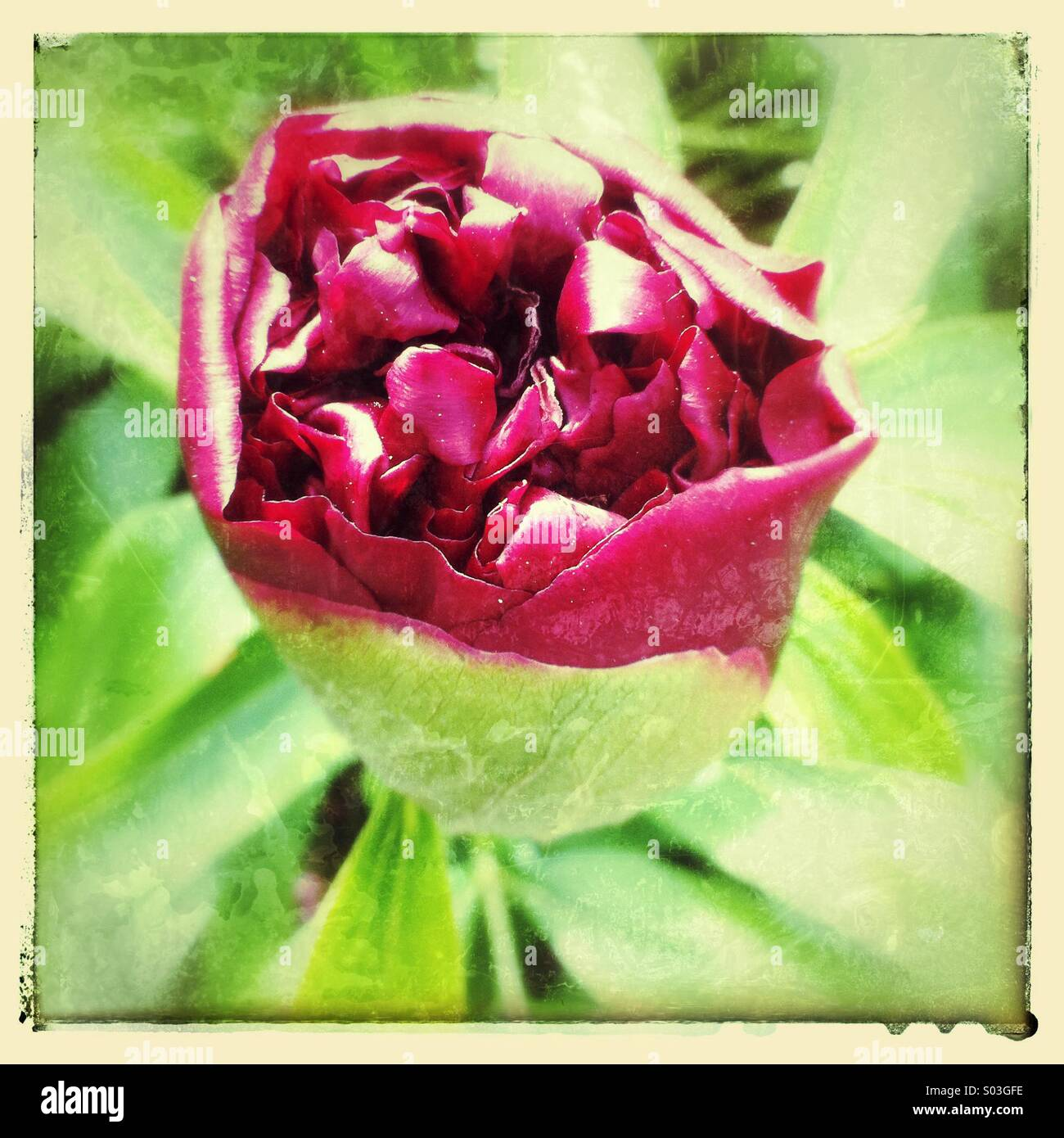 Peony flower bud opening - Stock Image