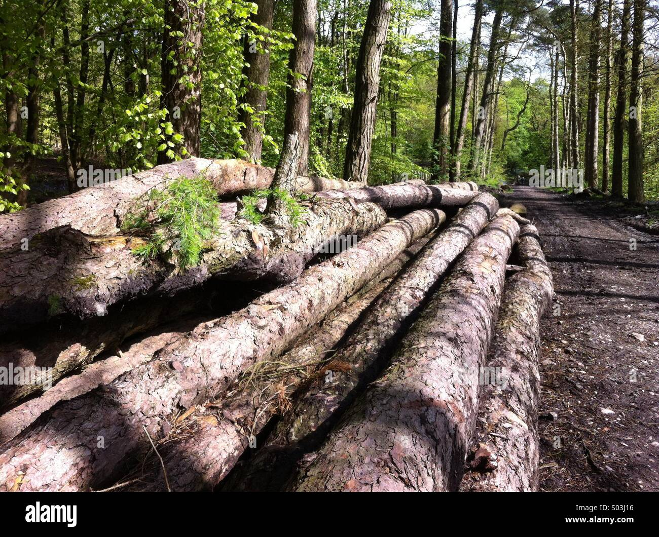 Diseased larch awaiting collection by specialist in diseased timber - Stock Image