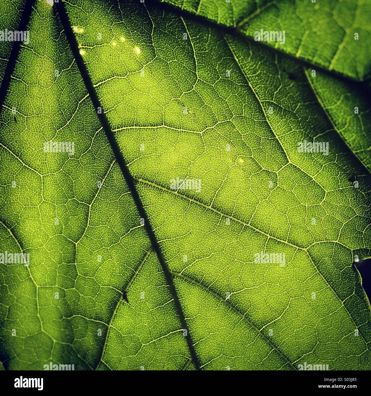 A backlit oak leaf - Stock Image