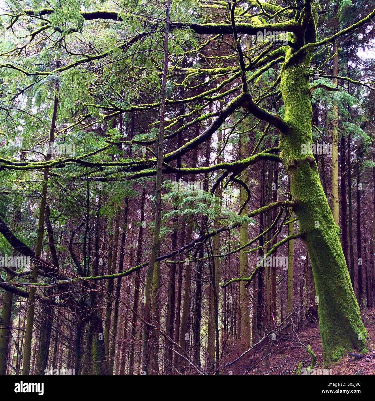 Light in a forest after rain, showing a moss covered tree in vivid green. - Stock Image