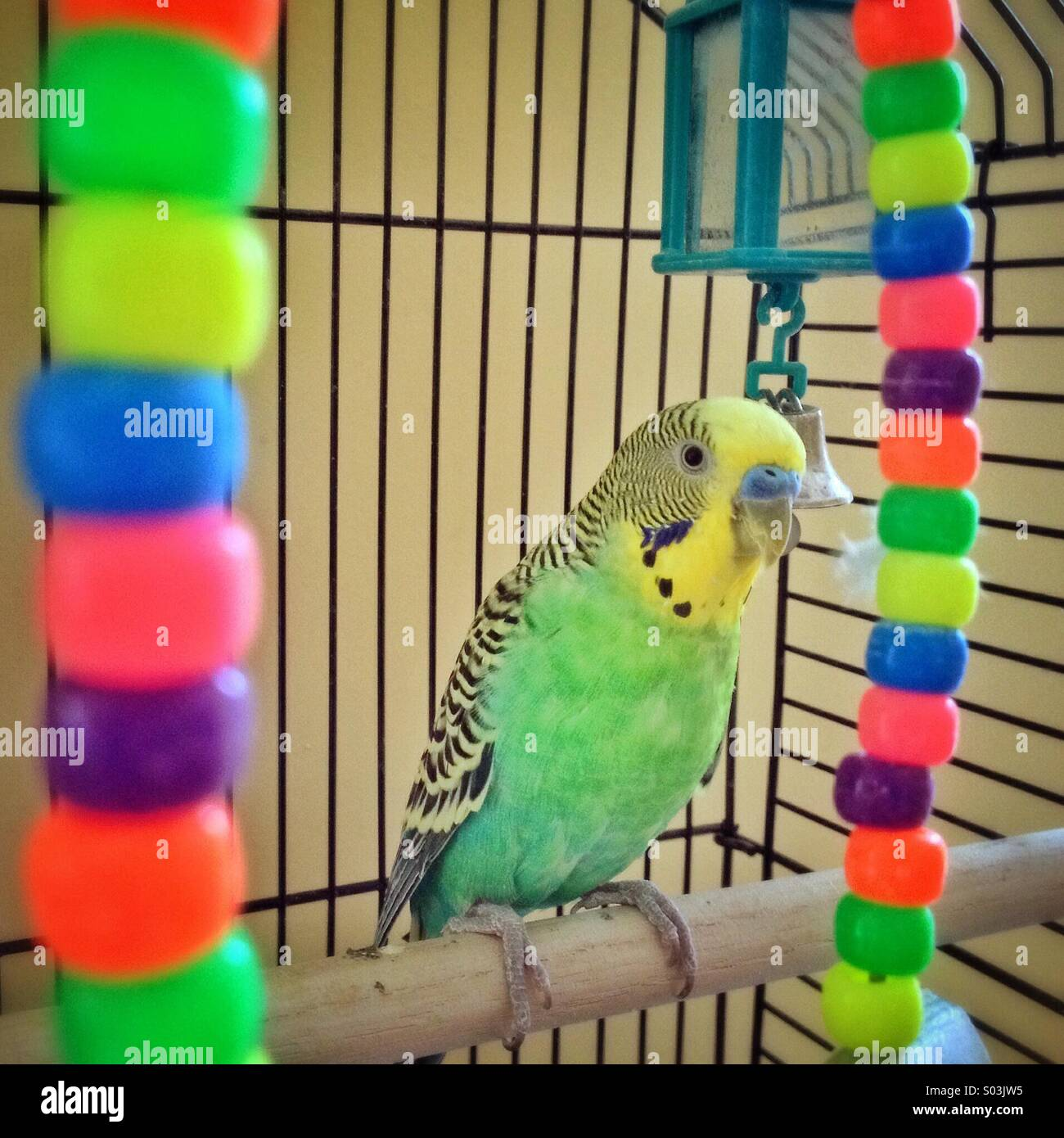 Green and yellow Budgie bird inside colourful cage. - Stock Image