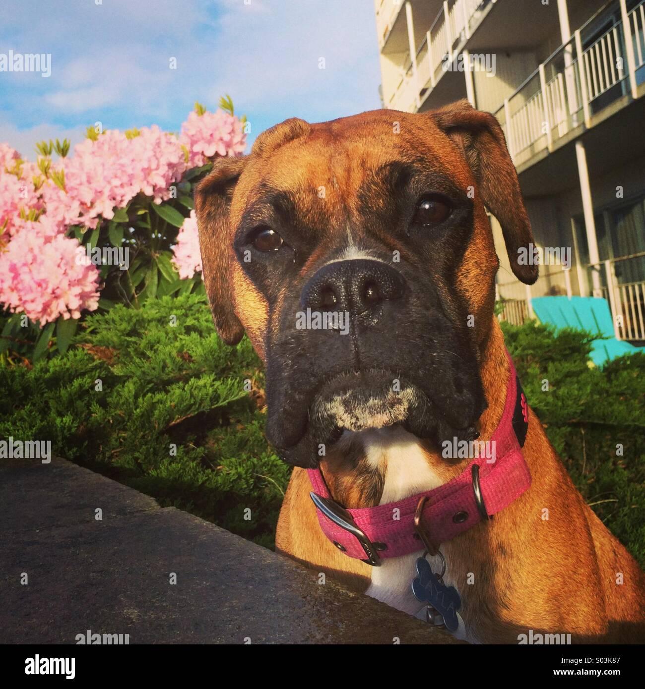 Boxer portrait, Seattle Stock Photo