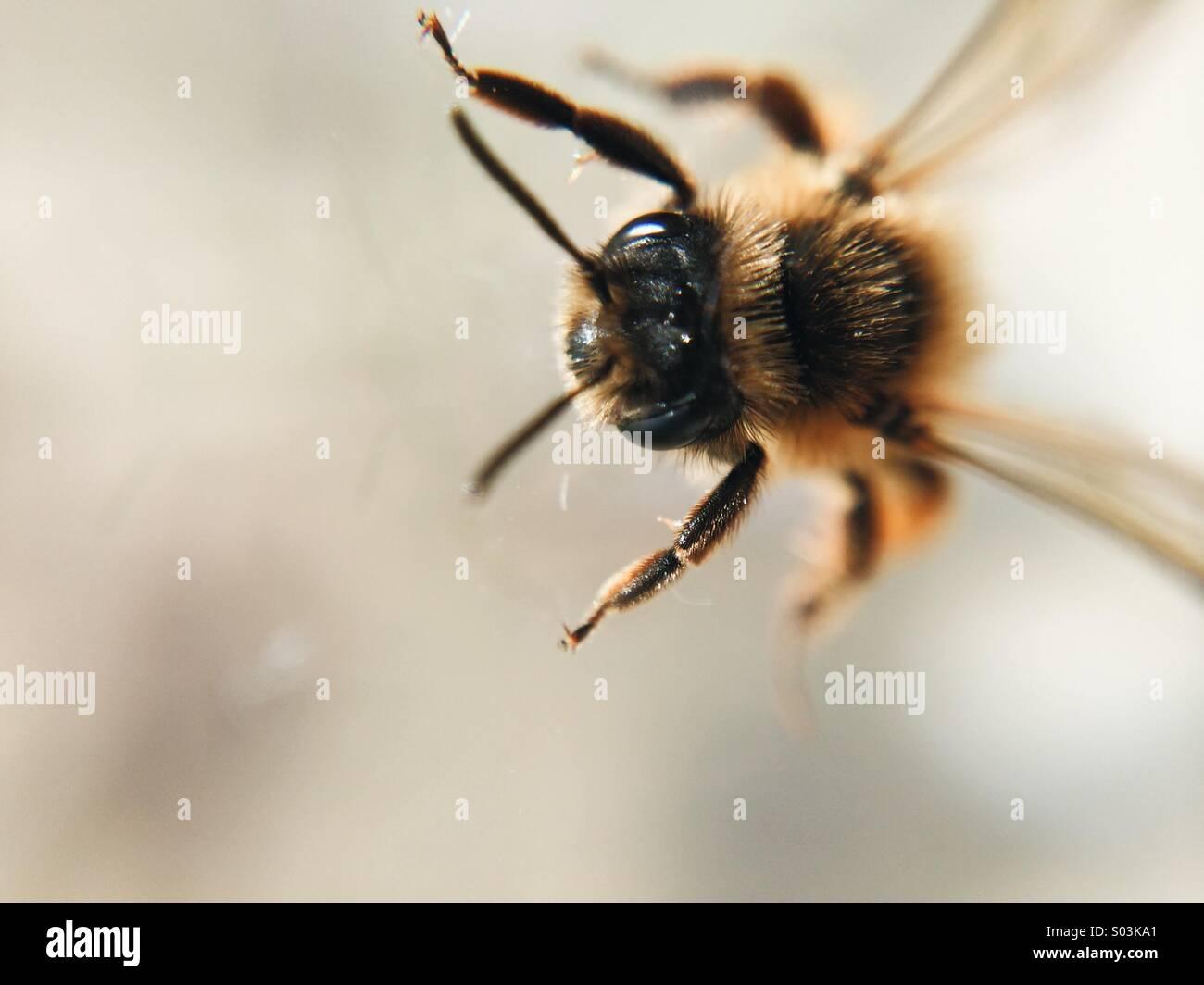 Macro honey bee Stock Photo