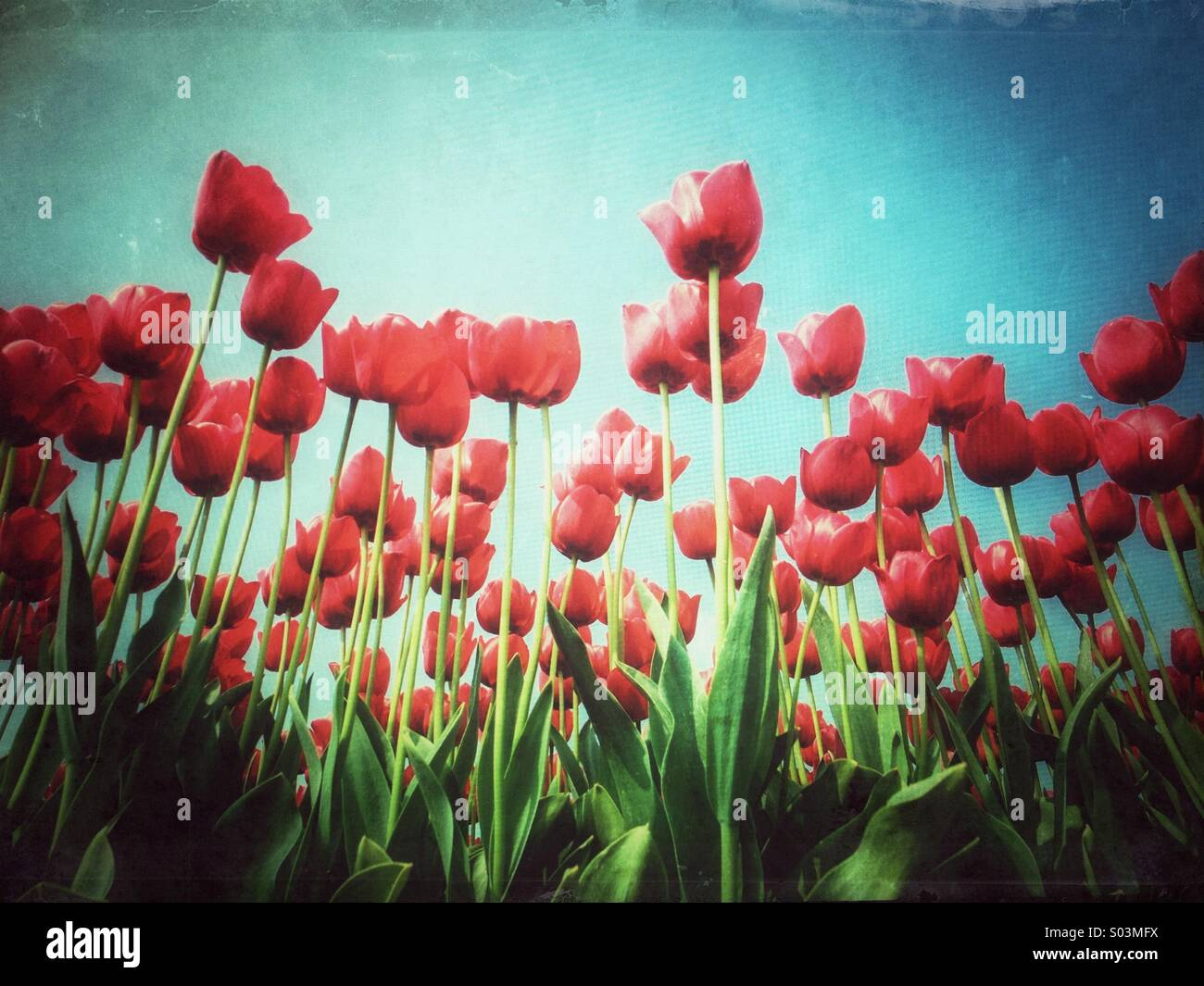 Red tulips in field in spring, Lisse, South Holland, Netherlands Stock Photo