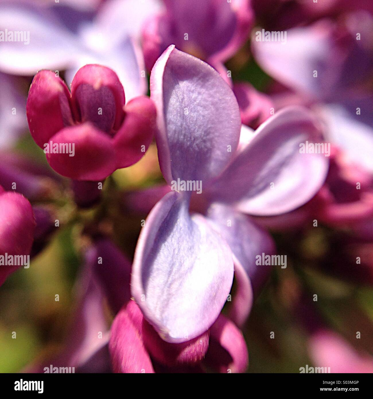 Lilac macro - Stock Image
