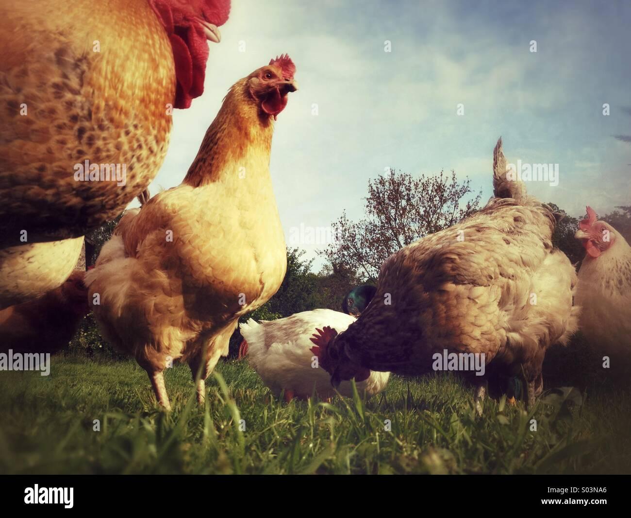 Chickens on free-range farm - Stock Image