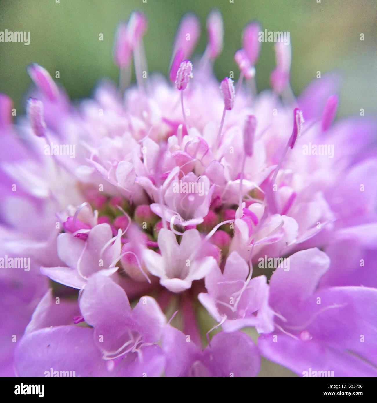 Macro of a pincushion flower - Stock Image