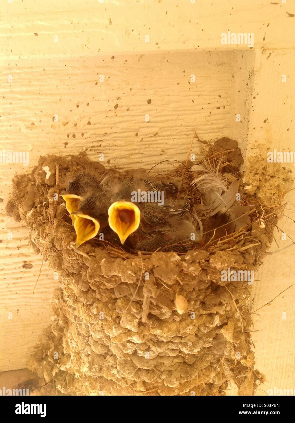Baby swallows - Stock Image