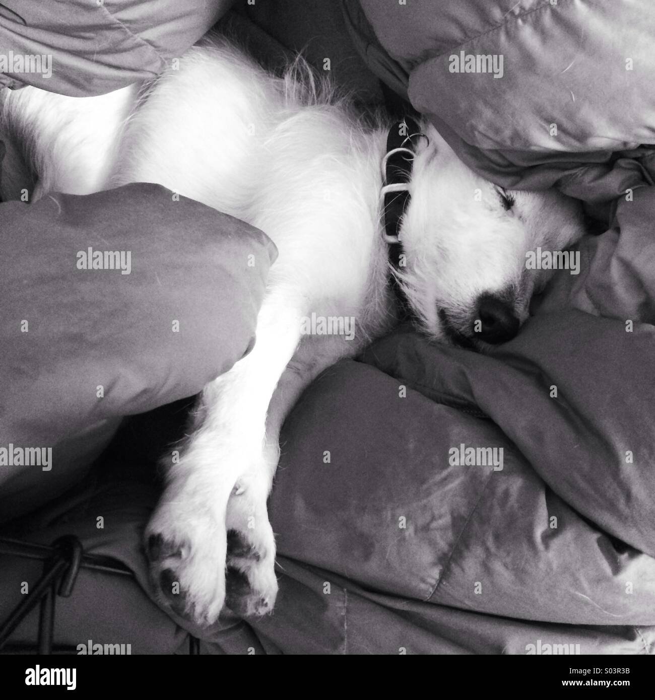 White dog asleep in pillows - Stock Image