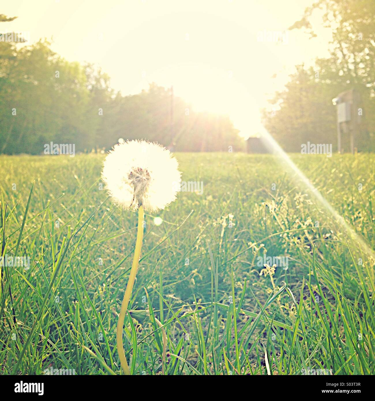 Dandelion in the sun - Stock Image
