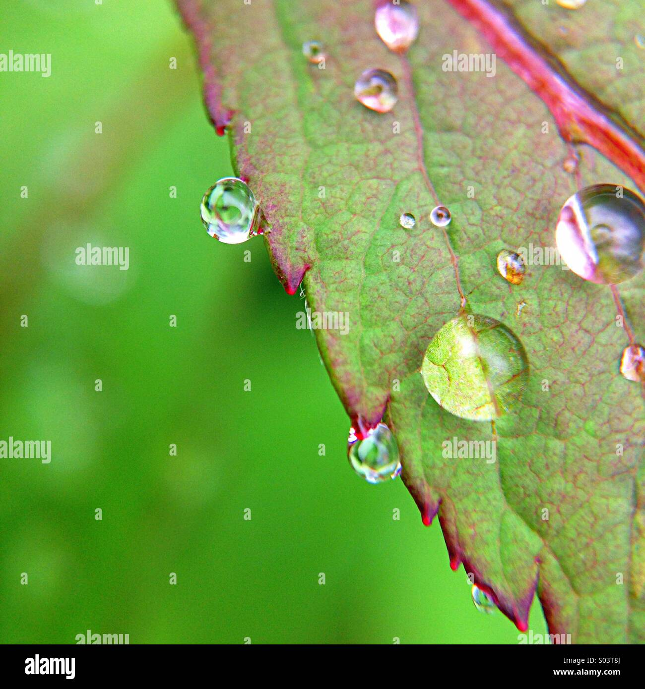 Leaf after the rain - Stock Image