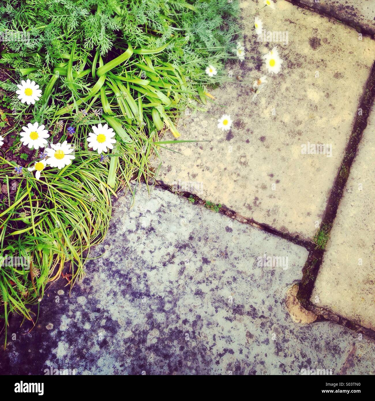 Daisies by a paved path. - Stock Image