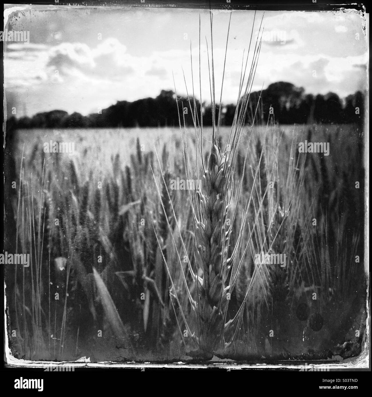Wheat field in the Umbrian countryside near Perugia - Stock Image