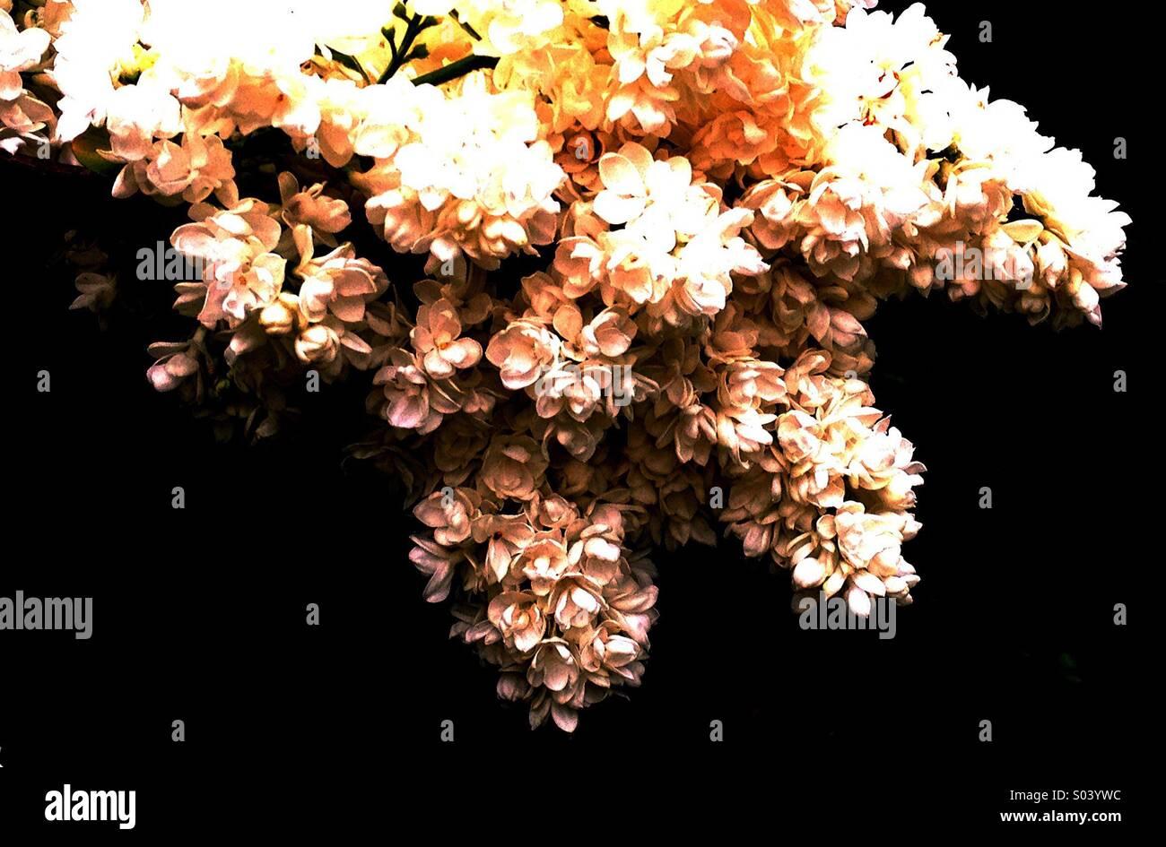 Lilac - Stock Image