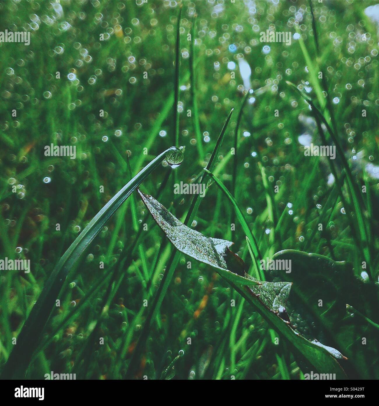 Morning dew on the lawn - Stock Image