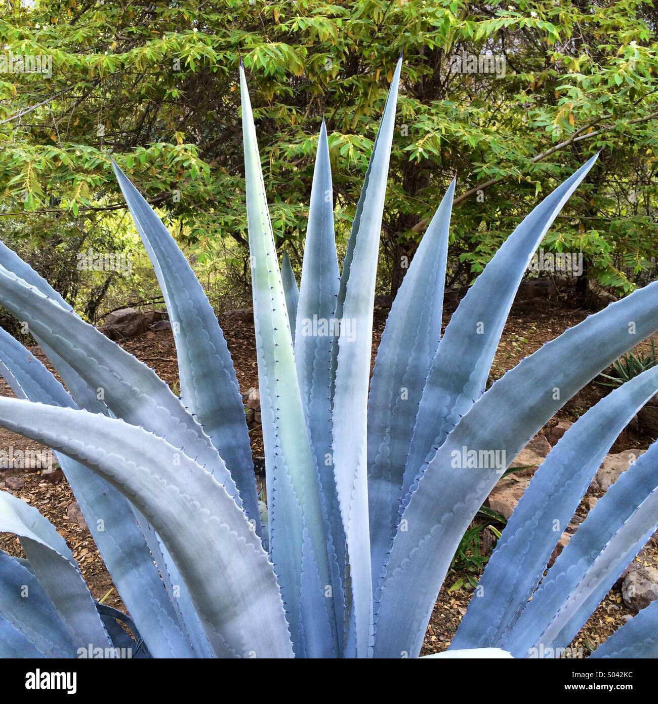 Blue agave plant, Chaparri Reserve, northern Peru Stock Photo