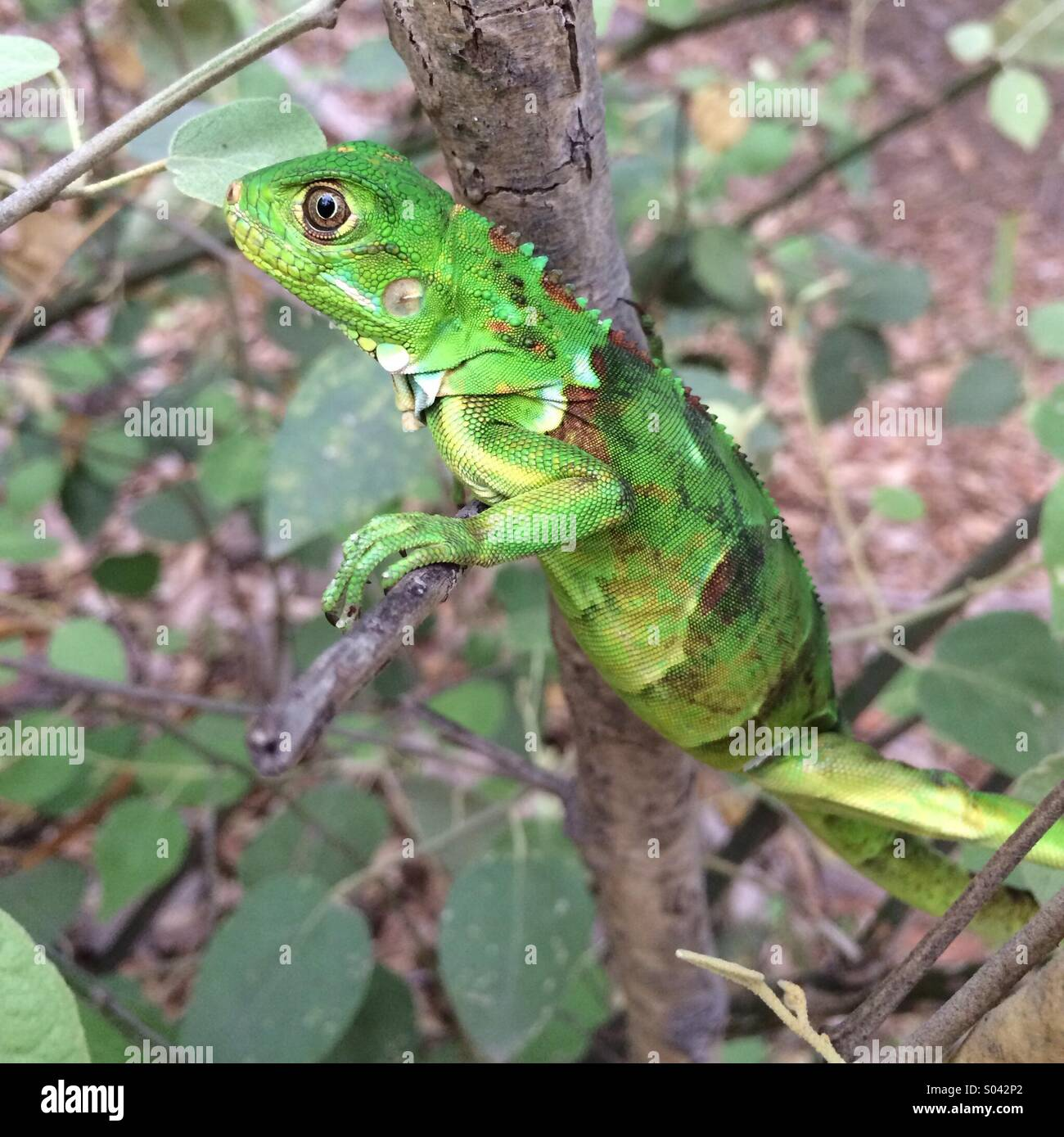 Green Iguana, climbing in small tree, Chaparri Reserve, Peru Stock Photo