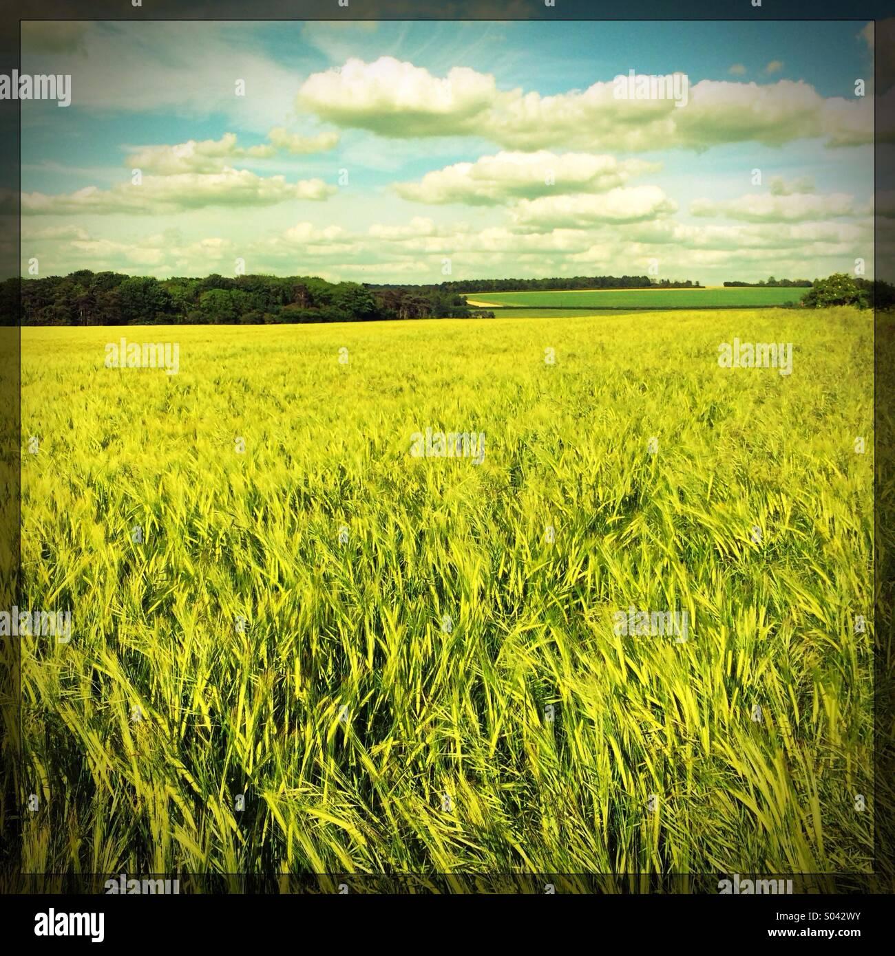 Wheat field UK - Stock Image