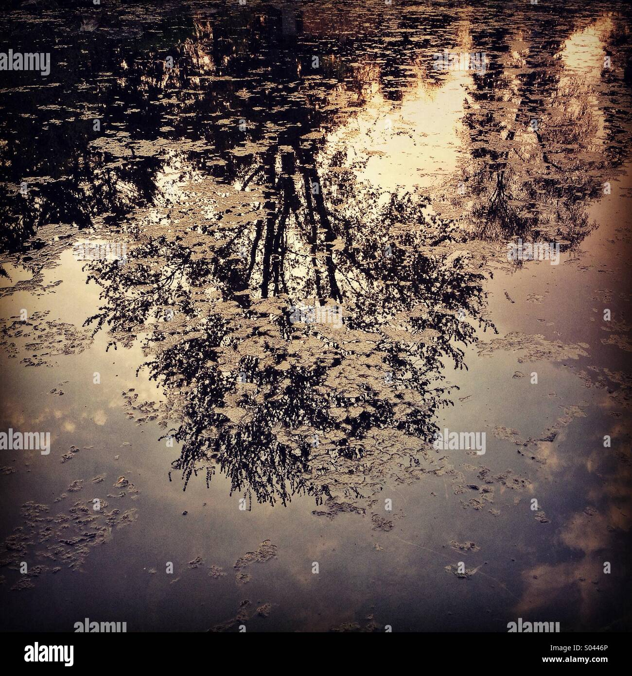 Tree reflected in pond at sunset. - Stock Image