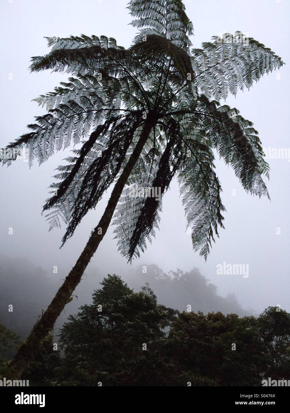 Tree Fern in mist, cloud forest, Andes mountains, Cosnipata Valley, Manu National Park, Peru - Stock Image