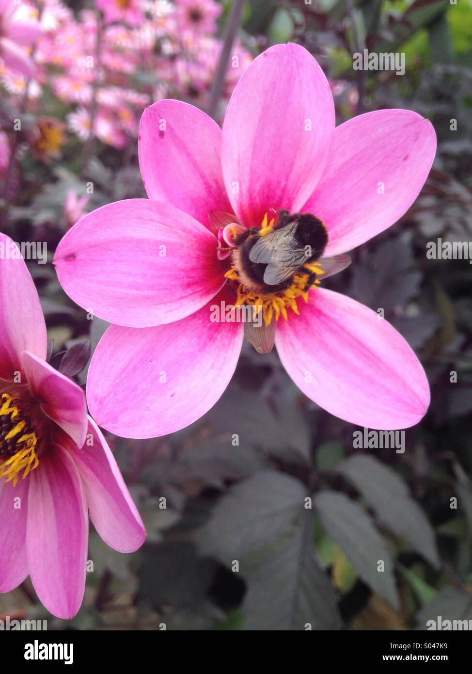 A bumble bee settled on a dahlia taken in Norfolk early June Stock Photo
