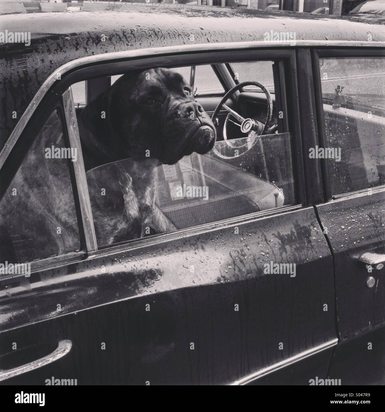 Black and white photo of dog with head sticking out of parked car window in the rain - Stock Image