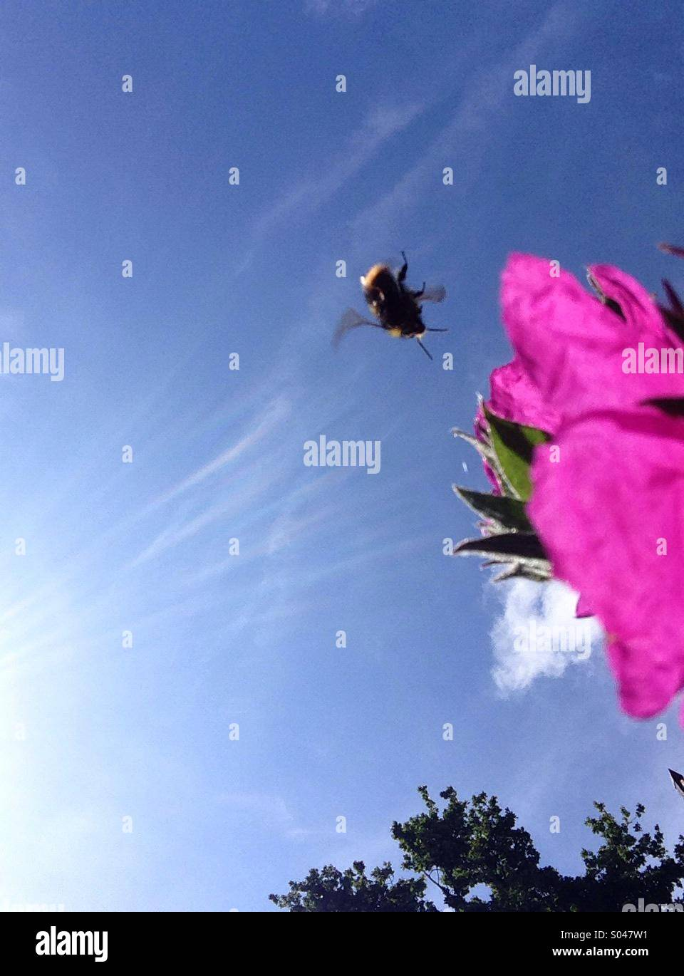 Bee and pink flower from below. - Stock Image