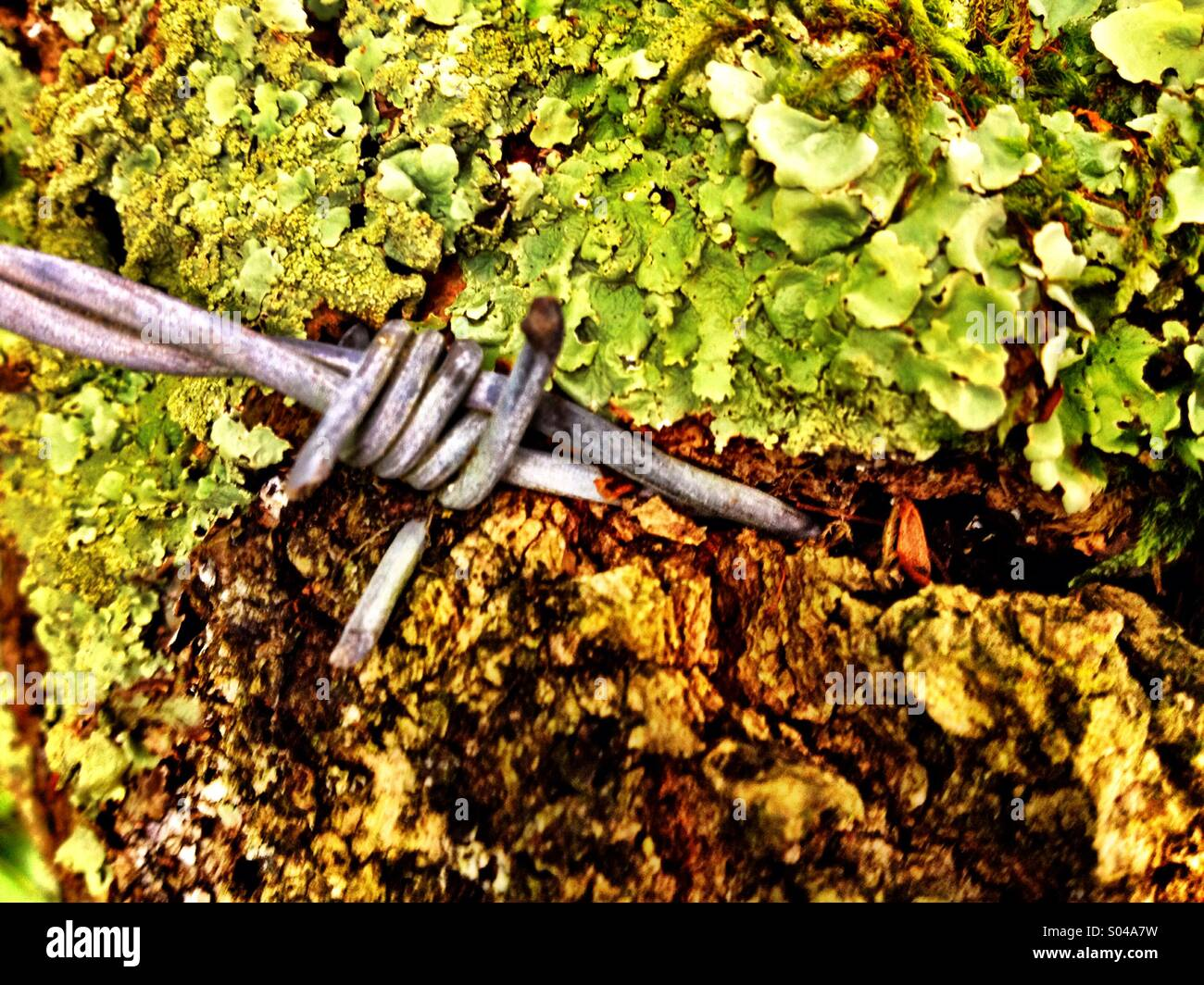 Barbed wire embedded in tree - Stock Image
