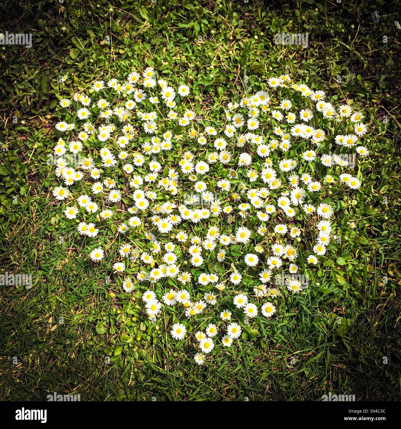 Heart made of daisies - Stock Image